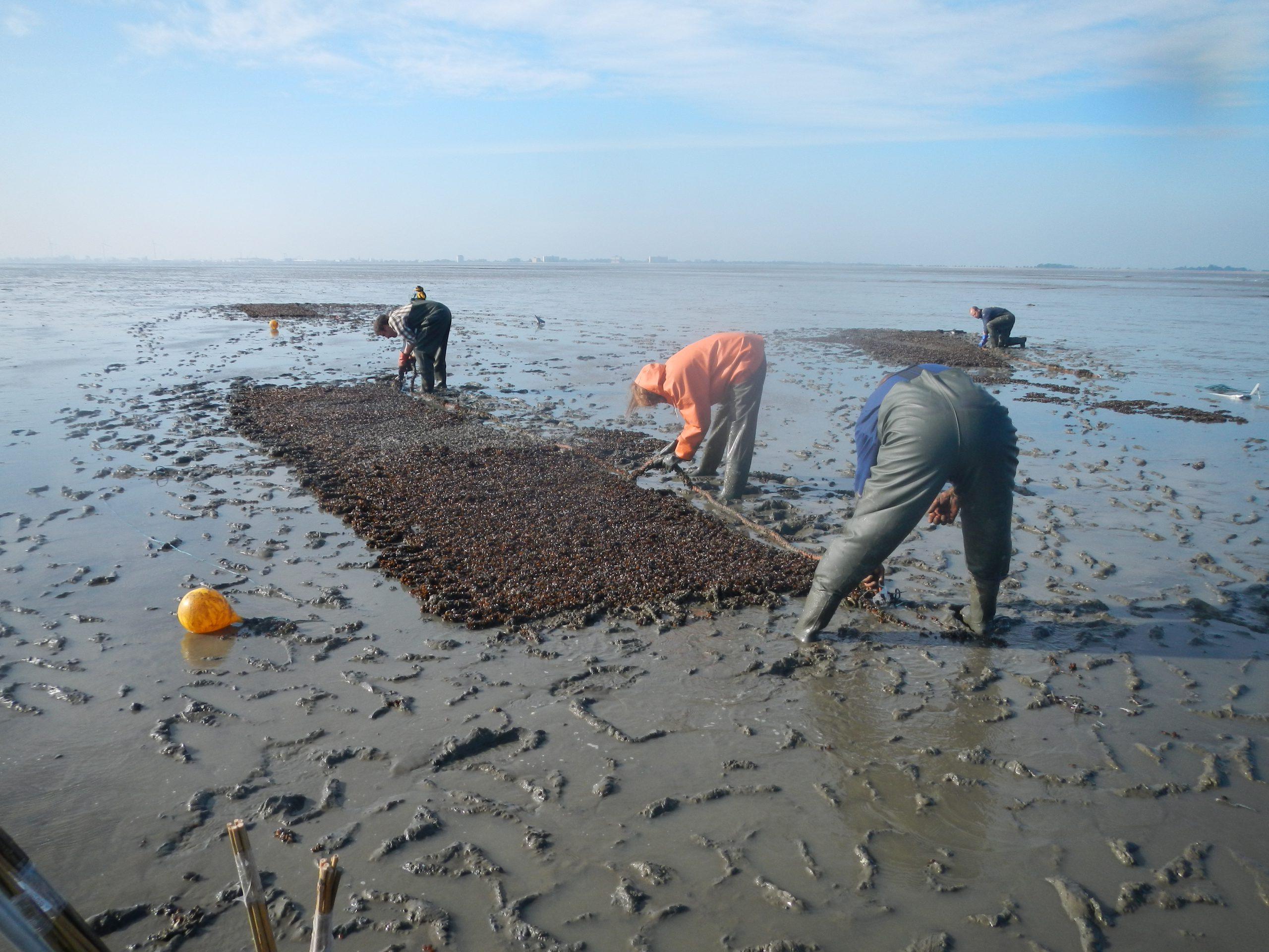 Aanleg mosselbank bij de Paap in de Waddenzee